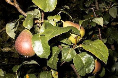 Die Birnen in Nachbars Garten