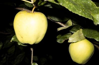 Der Apfel fällt nicht weit vom Stamm, naja, zumindest wenn er reif ist.
