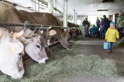 Kühe Melken im Reka Feriendorf Urnäsch