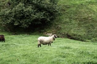 Schaf im Appenzell