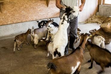 Fütterung der Ziegen im Reka Feriendorf Urnäsch