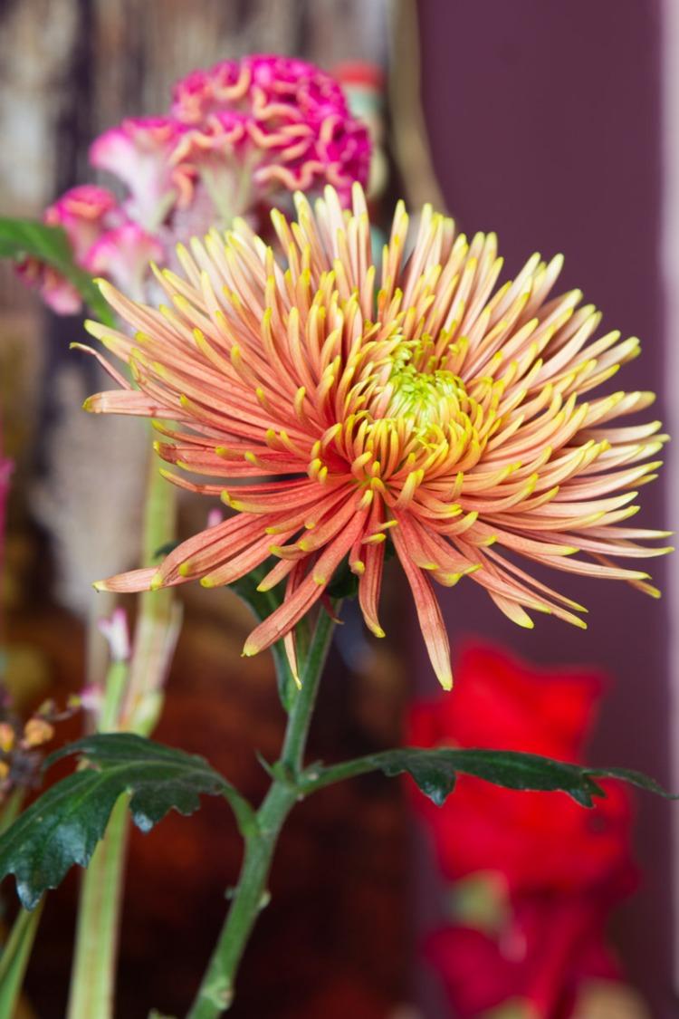 chrysantheme-bloomon